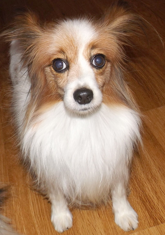 timmy the papillon