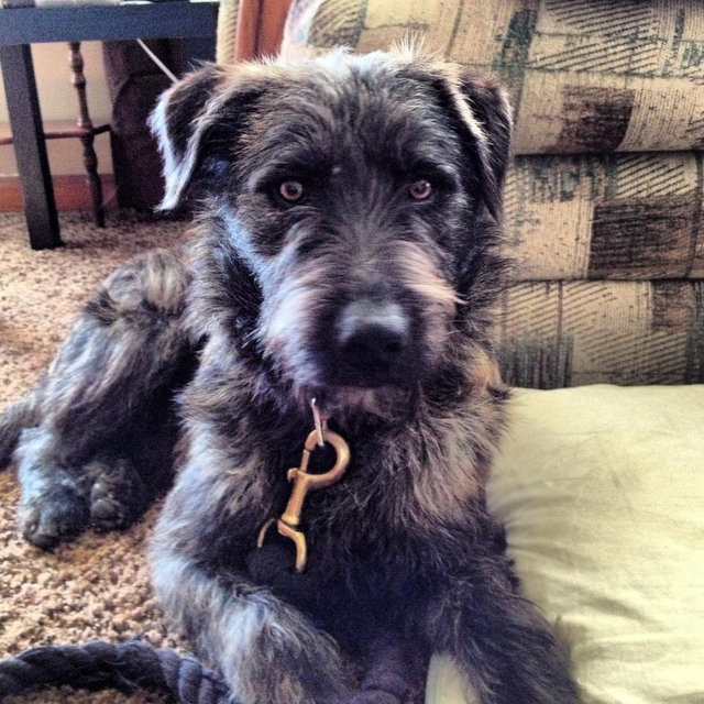 adopted: Brindle Schnauzer/Airedale M (dob: 3/11/12) - Save! Rescue ...